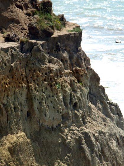 uferschwalben in ahrenshoop