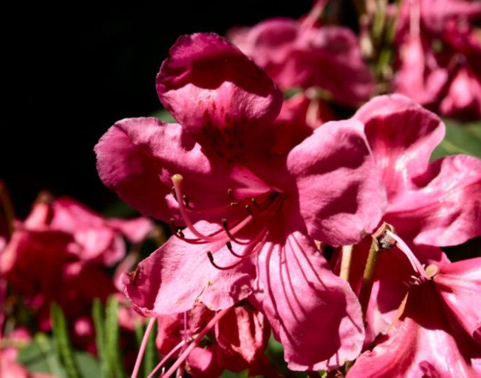 rhododendronpark bremen, blütezeit